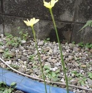 ●また敷地内の隙間に見知らぬ花が咲いた。