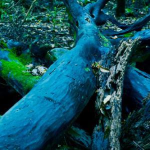 青く光る倒木