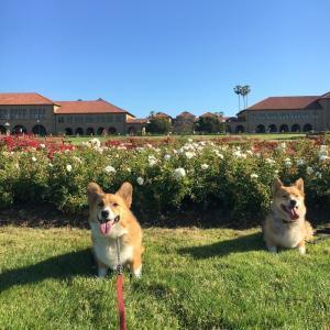 きれいな花が満開のスタンフォード大学で散歩