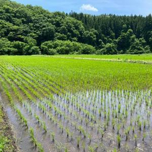 【ふくしまロハスプロジェクト】今泉さんの田んぼ(無農薬)で草取り