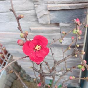木瓜の花が咲きました