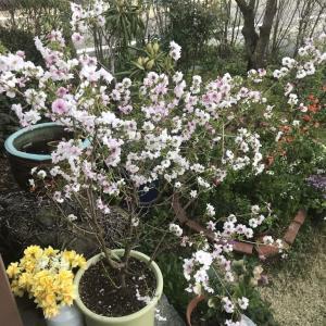 鉢植えの桜、「世の中に たえてコロナのなかりせば 春の心はのどけからまし」、新作清涼飲料水、「ゴルゴ13」、夜間工事、新作アイス、「ミニいなり3個」「サラダちらし」