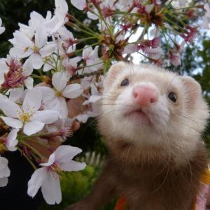 桜のお葬式