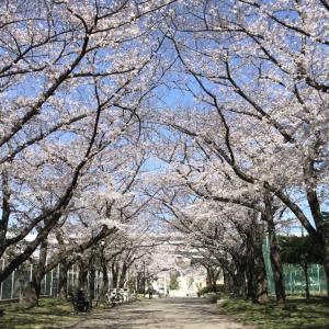 満開の桜 to イチゴのパンナコッタ♡
