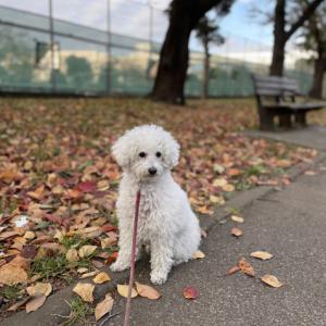 秋深し・落ち葉の絨毯をだいずとお散歩♡
