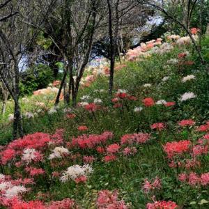 みろく公園彼岸花の咲き具合