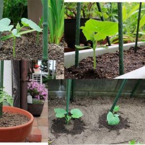 キュウリ苗を植えました
