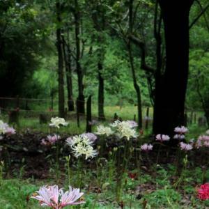 みろくの彼岸花の咲き具合