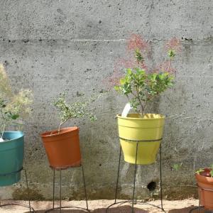 6/1 きょうの庭 ~大葉、トマト追加~