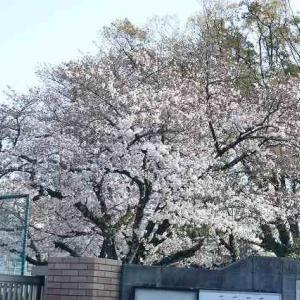 桜が咲きました。コロナ感染は拡大しています。