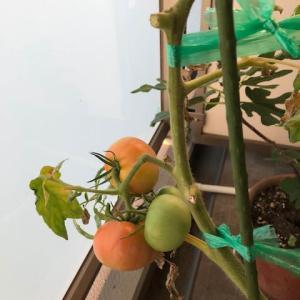 トマトの赤味が、更に増して