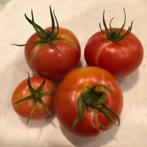 トマト、4個収穫