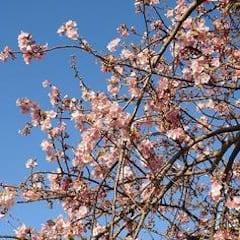 河津桜は満開、ソメイヨシノの木の芽は?
