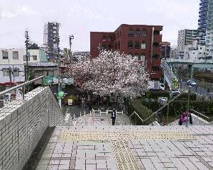 一本桜咲きました!