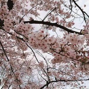 サビない人生に桜咲く♪