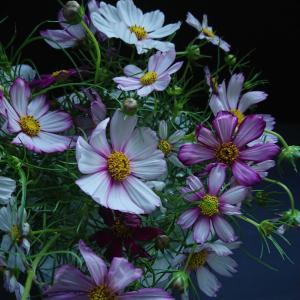季節の花を楽しむ  コスモス