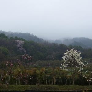 春の雨 箕面・瀧道散策