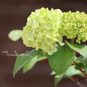 ⋆⋆小さなお庭の小さな春♪ドウダンツツジの花も咲きました⋆⋆