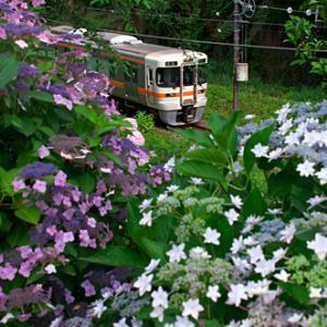 313系と紫陽花