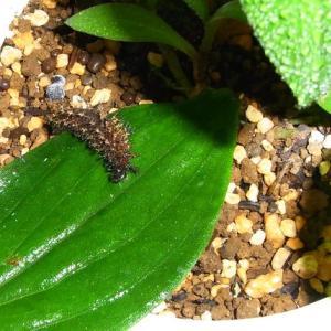ルリタテハの幼虫 最後の1匹死ぬ