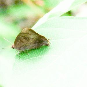 ムラサキシジミ ♀
