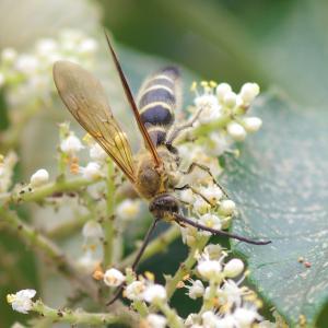ヒメハラナガツチバチとキンケハラナガツチバチ
