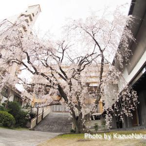 普門寺のしだれ桜が満開!