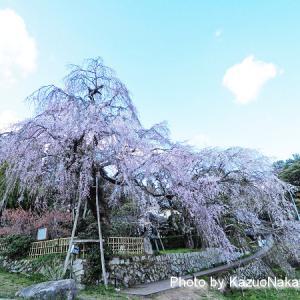 奥畑のしだれ桜は満開でした。