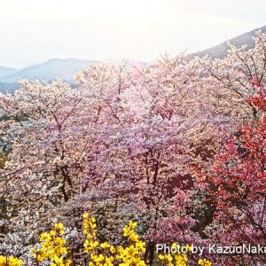 散歩道の桜たち。