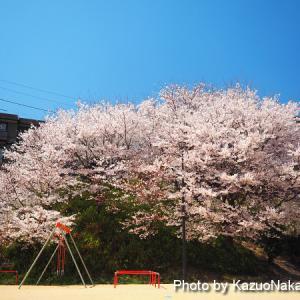 公園の大きな桜。