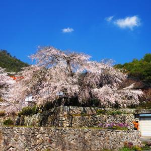 奥畑のお気に入りのしだれ桜。