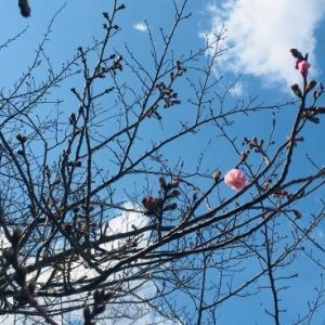 ワクワクの春 発見!!桜~開花一号