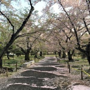 桜も…頑張っています(^_^)