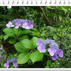 紫陽花の花・にんじん