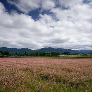 滋賀県ツーリング 東近江の赤蕎麦の花