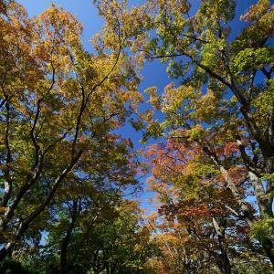ケヤキ並木の紅葉@府立植物園