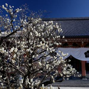 咲き急ぐ春の花達 梅@智積院