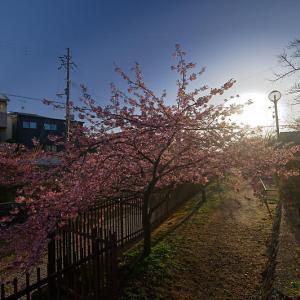 咲き急ぐ春の花達 河津桜@淀水路