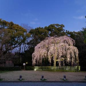 2020桜巡り@御所出水の桜 ライトアップ
