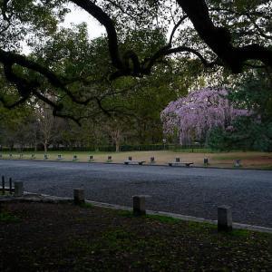 2020桜巡り@御所出水の桜