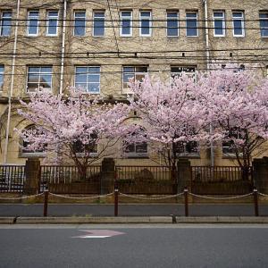 2020桜巡り@旧成徳中学校の春めき桜