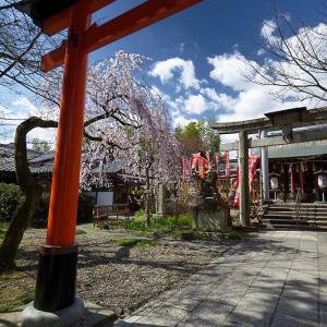 2020桜巡り@火山稲荷神社 枝垂れ桜&染井吉野