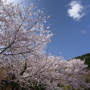 2020桜巡り@大石神社