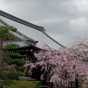 2020桜巡り@妙満寺