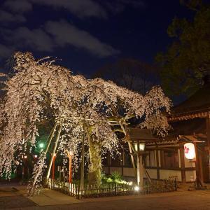 2020桜巡り@平野神社 ライトアップ