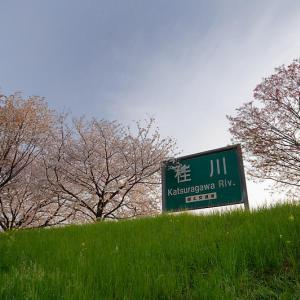 2020桜巡り@桂川堤防の桜並木