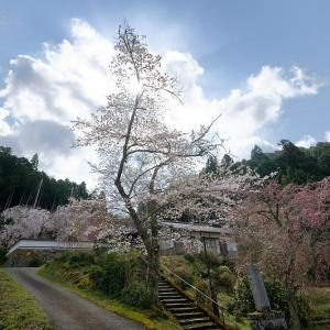 2020桜巡り@京北町 福徳寺