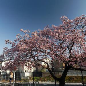 早春の花巡り 寒桜@JR桃山駅