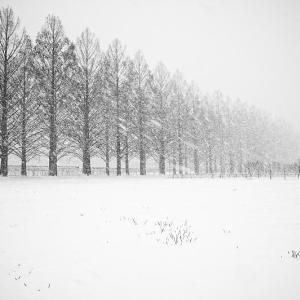 雪景色@滋賀県マキノ メタセコイヤ並木