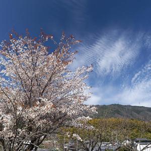 2021桜巡り 枝垂れ桜@内緒のお寺